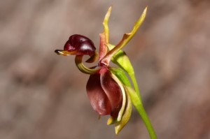 Caleana major orquidea pato 11