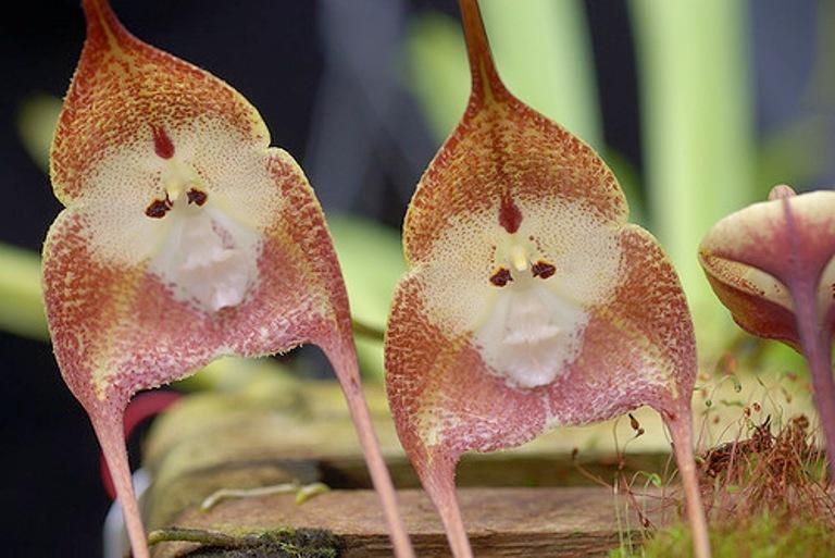 orquidea-cara-de-mono-dracula-simia-4