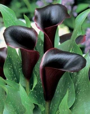 "Calla Lily ""Night Cap"""