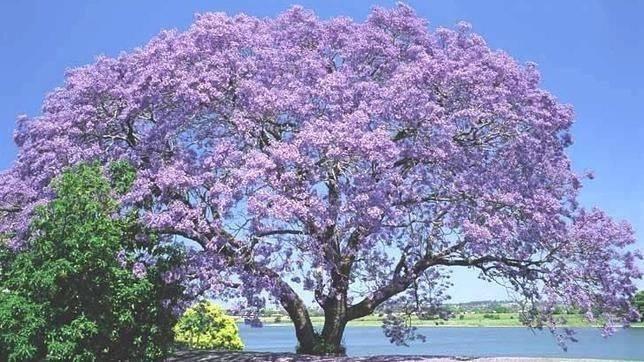 Powlonia tomentosa (KIRI: El árbol que podría salvar el planeta)